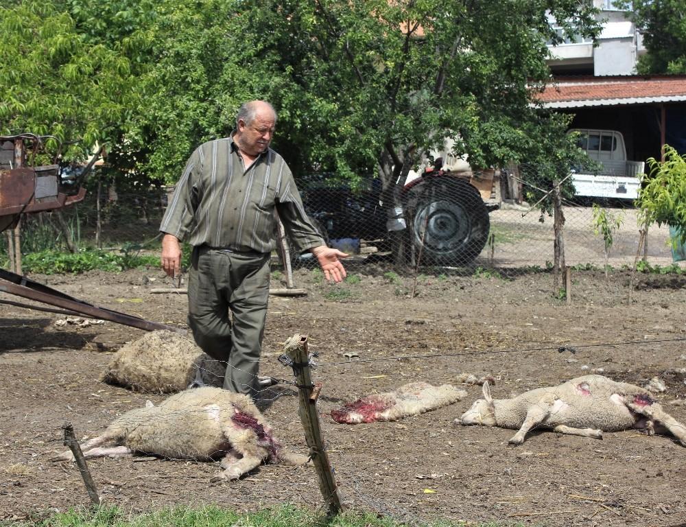 Aç kalan köpekler 5 koyunu telef etti
