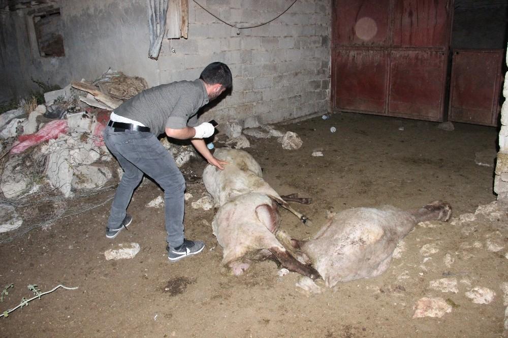 Ağıldaki koyunlara saldıran sokak köpekleri 3 koyunu telef etti