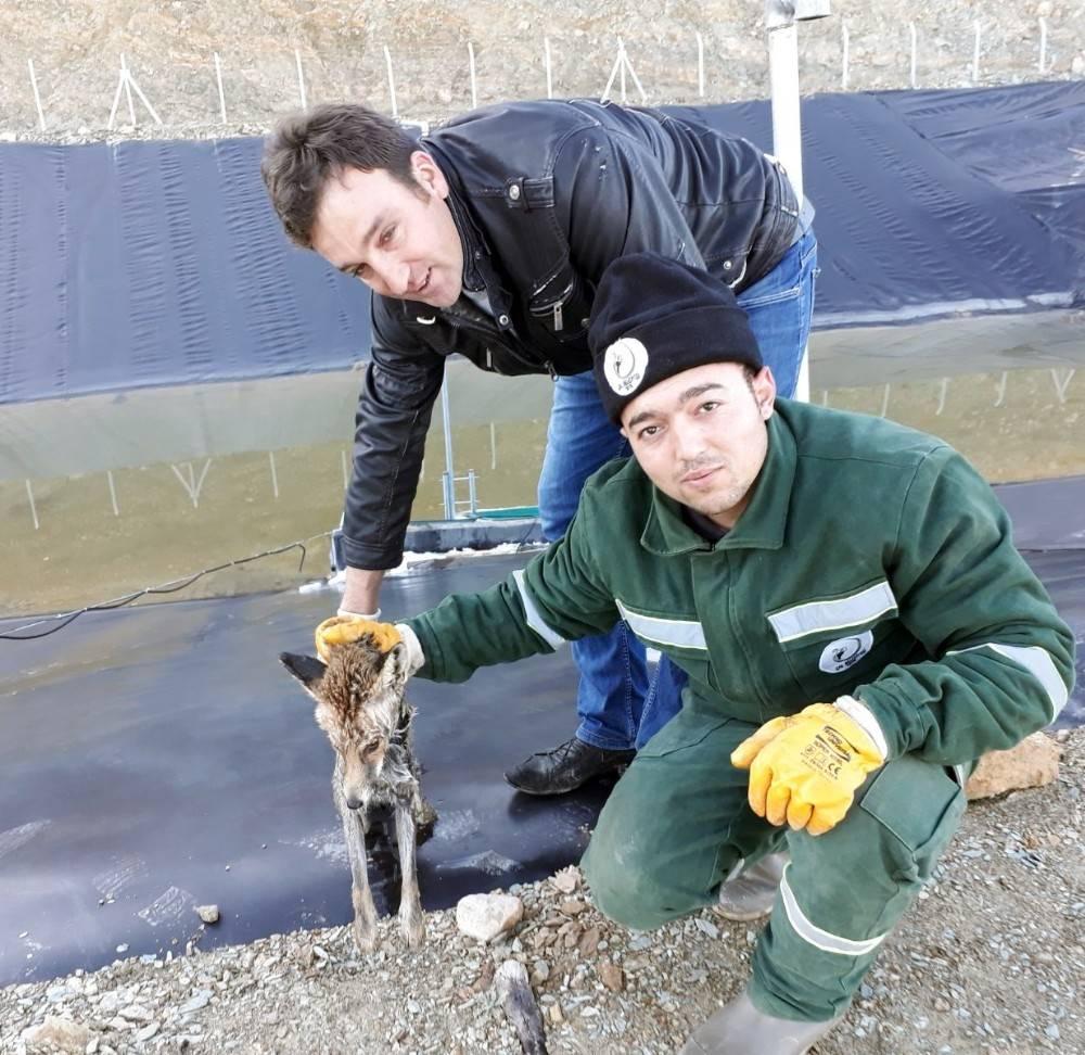 Donmak üzere olan tilkiyi zabıta kurtardı