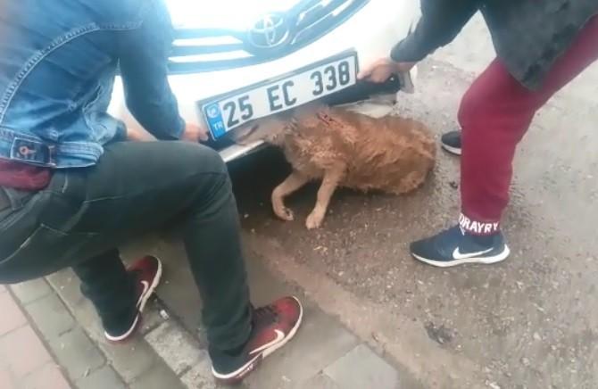 Otomobilin çarptığı köpek tampona sıkışarak yaralandı